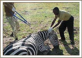 Removing the snare from around the zebra's neck