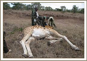 The immobilized giraffe.jpg