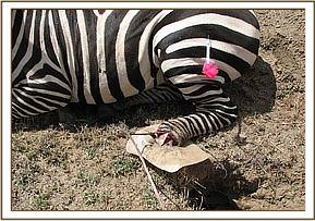 The snare around the zebra's leg