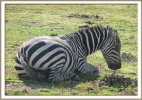 The zebra goes down after being darted
