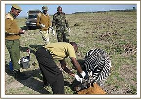 Treating the zebra's wounded eye