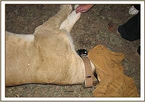 The collar attached that will be used to monitor the lioness