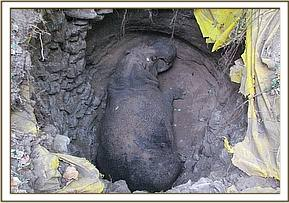 The hippo stuck in the septic tank