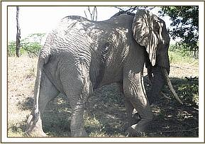 The injured elephant its wound clearly visible