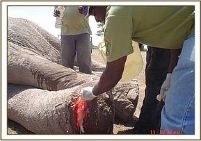 Dr. Ndeereh works on the wound, cleaning it thoroughly