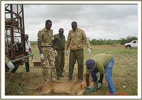 Before her release the lioness was imobilized in order to clean her wounds