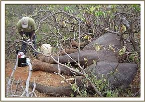 Dr. Ndeereh works on the second elephants injuries