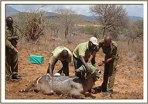 A waterbuck is treated and a snare is removed from her leg