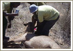 The snared waterbuck is darted