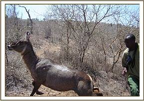 The waterbuck leaps to its feet once the revival drug takes effect
