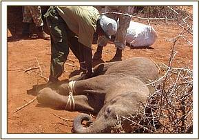 The calf is roped to restrain him for the journey in the vehicle to the closest airstrip