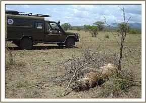 A poisoned lioness is found inside Tsavo West National Park