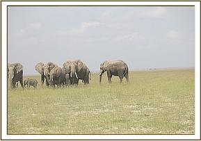 The elephant cow with her herd