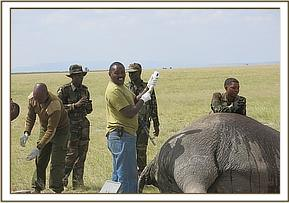Elephant injected with medicine at different sites
