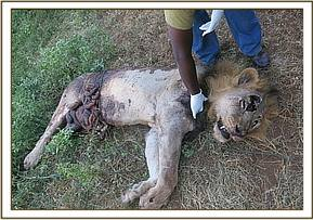 The lions wounds and inflicted injuries