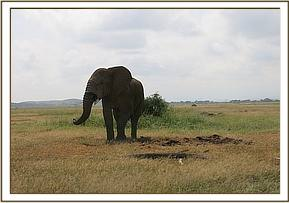 Elephant bull after treatment