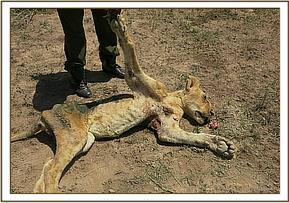 The lions fatal injuries