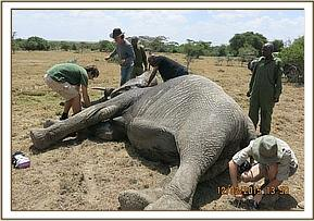 The elephant is darted for a collar replacement