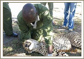 The vet examines the cheetahs face