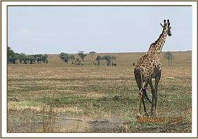 The giraffe is dragging a tree stump with the snare