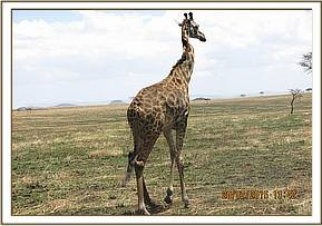 The giraffe has a kinked neck as a result