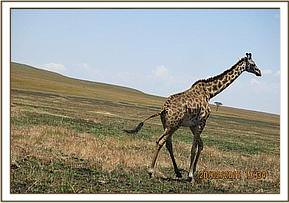 The giraffe with a wire snare is darted