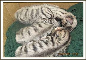 The cubs cuddling after having some milk