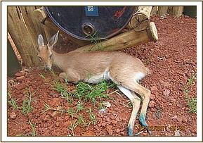 The injured duiker