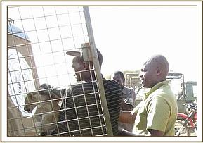 The lion cubs are put in a cage to be transported to the Voi research center