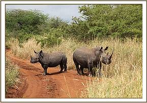 The darted rhino and its calf