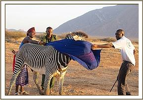 The zebra is blindfolded to help calm it after darting