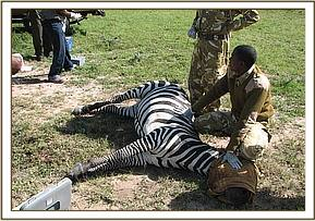 Immobilized zebra for sampling
