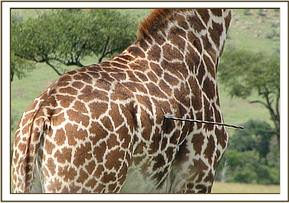 The spear sticking out the giraffes abdomen