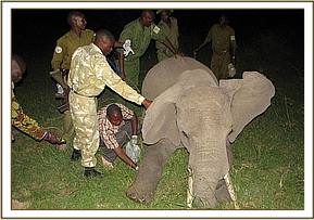 The wounded elephant