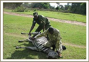 Immobilizing the zebra