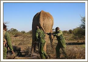 Helping the elephant to the ground following darting