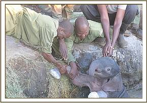 Manually trying to lift the elephant from the waterhole