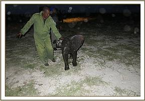 This little calf is rescued by the unit
