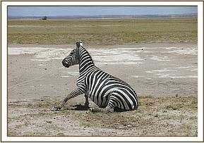 The zebra recovers quickly