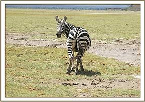 The Amboseli Mobile Vet Unit found an isolated grazing zebra
