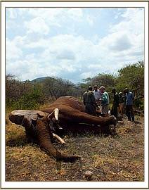 This bull was wounded by arrows