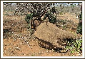 This female elephant has been shot