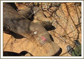The elephant cow has been shot through the foot