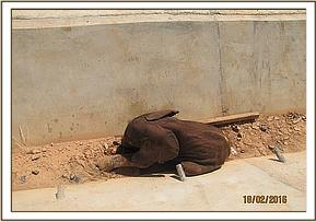 An elephant calf trapped