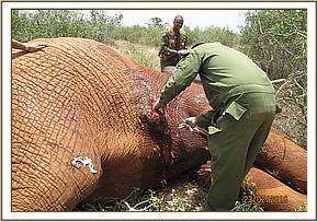 The vet attending to the injured elephant