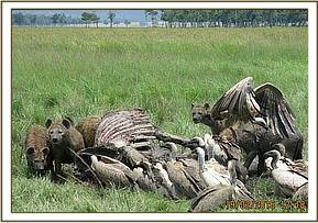 Vultures and hyena's scavenge the carcass
