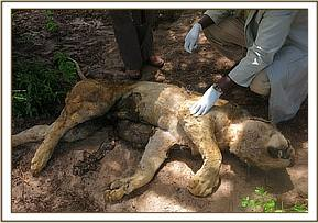 This lion was speared as a result of human wildlife conflict