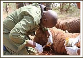 Treating an Injured Elephant