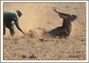 The Team move in to assist the waterbuck