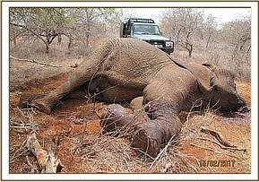 An Elephant Carcass is found